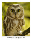Northern Saw-Whet Owl-008
