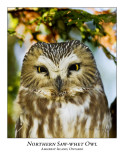 Northern Saw-whet Owl-010