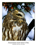 Northern Saw-whet Owl-011