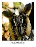 Long-eared Owl-009