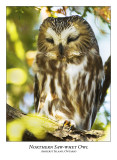Northern Saw-whet Owl-012