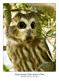 Northern Saw-whet Owl-013