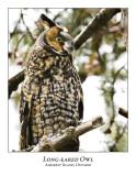 Long-eared Owl-011