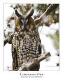 Long-eared Owl-013