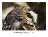 Northern Saw-whet Owl-014