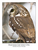 Northern Saw-whet Owl-015