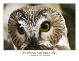 Northern Saw-whet Owl-016