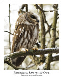 Northern Saw-whet Owl-017