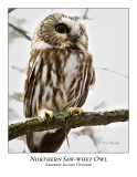 Northern Saw-whet Owl-019