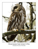 Northern Saw-whet Owl-020