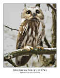 Northern Saw-whet Owl-021
