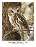Northern Saw-whet Owl-022