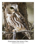 Northern Saw-whet Owl-023