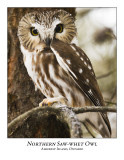 Northern Saw-whet Owl-024