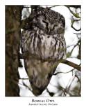 Boreal Owls