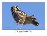 Northern Hawk-Owl-025