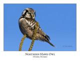 Northern Hawk-Owl-026