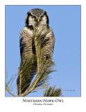 Northern Hawk-Owl-027