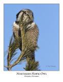 Northern Hawk-Owl-029