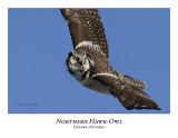 Northern Hawk-Owl-032