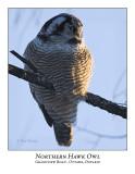 Northern Hawk-Owl-033