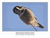 Northern Hawk-Owl-035