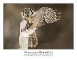 Northern Hawk-Owl-039