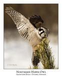 Northern Hawk-Owl-041