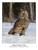 Great Gray Owl-009