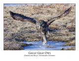 Great Gray Owl-027