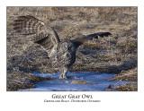 Great Gray Owl-029