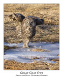 Great Gray Owl-030