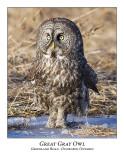 Great Gray Owl-031