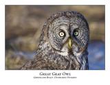 Great Gray Owl-034