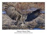 Great Gray Owl-037