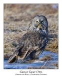 Great Gray Owl-038