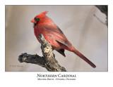 Northern Cardinal-005