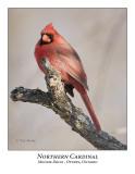 Northern Cardinal-006