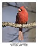 Northern Cardinal-007