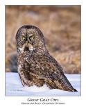 Great Gray Owl-042