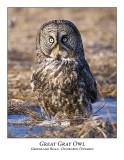 Great Gray Owl-045