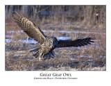 Great Gray Owl-046