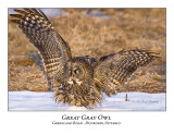 Great Gray Owl-050