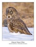 Great Gray Owl-051