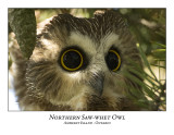 Northern Saw-whet Owl-026