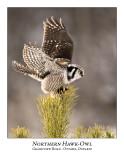 Northern Hawk-Owl-044