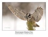 Northern Hawk-Owl-045