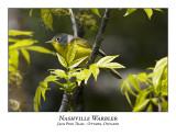 Nashville Warblers