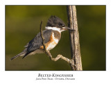 Belted Kingfisher-001