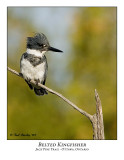 Belted Kingfisher-002